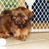 soft and charming shih tzu puppy for sale