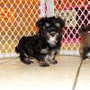 fabulous and playful havanese puppy for sale