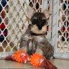 charming mini schnauzer puppy for sale