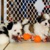 cuddly malti tzu puppy for sale