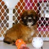 lovely and playful yorkie tzu puppy for sale
