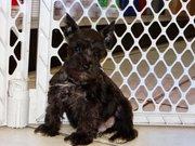 adorable mini schnauzer puppy for sale