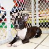smooth and playful boston terrier puppy for sale