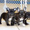 soft and playful french bulldog puppy for sale