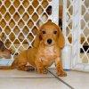cuddly min dachsund puppy for sale