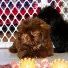 cuddly shih tzu puppy for sale