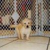 gorgeous golden retriever puppy for sale