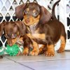 cute and active mini dachshund puppy for sale