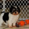 cuddly and playful malti poo puppy for sale