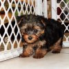 sweet and energetic yorkie puppy for sale