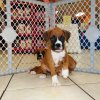 gentle and responsive boxer puppy for sale