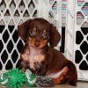 elegant and cuddly mini dachshund puppy for sale