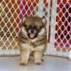 cheerful and sweet pomeranian puppy for sale