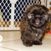 energetic and charming shih tzu puppyfor sale