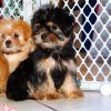 fluffy and engaging yorkie tzu puppy for sale